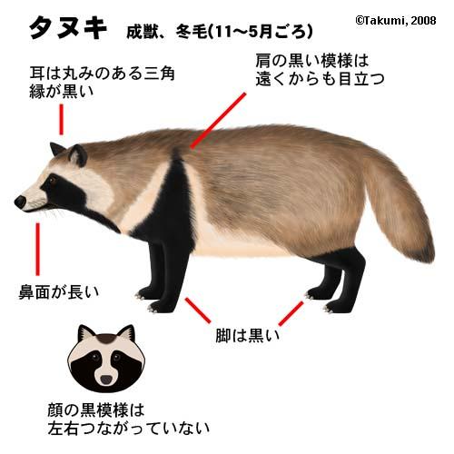 タヌキ絵.jpg